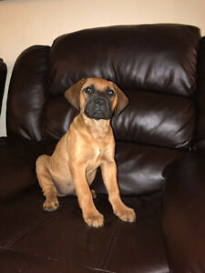 Bull mastiff x cane corso female puppy for ale. Only asking $800