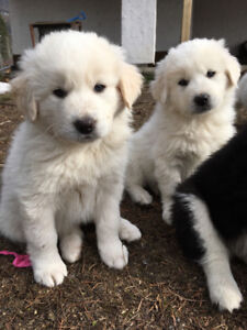 Maremma sheepdog puppies READY FOR NEW HOMES!