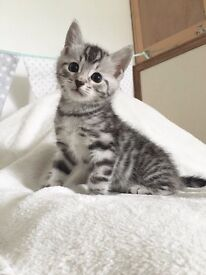 Silver Tabby Maine Coon Bengal kitten Baby girl! X