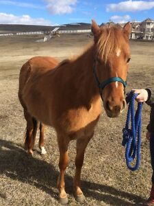 4year old Quarter horse Mare