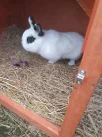 1 year old netherland dwarf rabbit and bluebell hutch