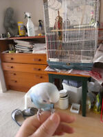tamed budgie with a big cage
