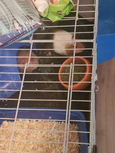 2 bonded female Guinea pigs