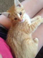 Abandoned kitten needs a home (free)