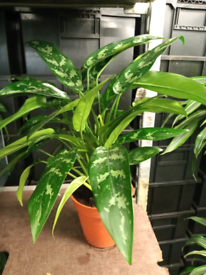 Live indoor Chinese Evergreen plant. Collection London SE16