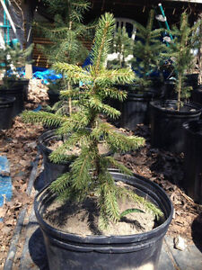 Small White Spruce Trees (ONLY 3 LEFT)
