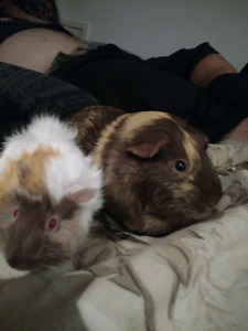2 female guinea  pigs with big cage lots of extras. 120 o.b.o