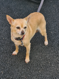 Female chihuahua 2 year old