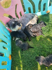 Miniature Schnoodle Puppies