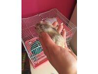 2 dwarf hamster