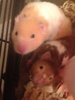 2 adorable hamsters for sale