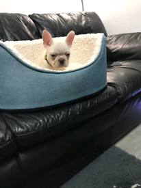French bulldog forsale