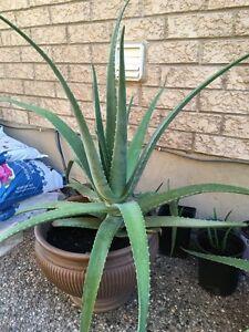 Alo Vera Plants!! Indoor/outdoor
