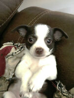 Chihuahua Puppies Family Raised
