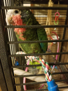 Cuban Amazon to rehome (not free)