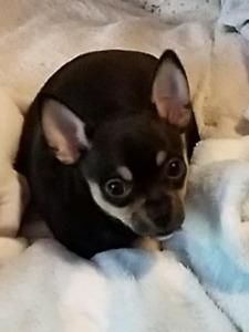 Gorgeous Female Deerhead Chihuahua Pup