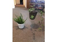Group of Plants , Aloe Vera and Wicker Basket Plant
