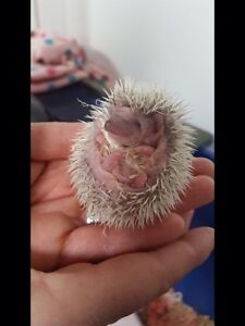 Baby hedgehogs for sale