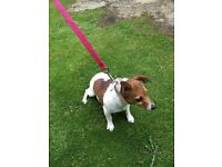 Jack Russell Tan/White