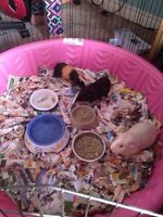 3 females guinea pigs free with their pen