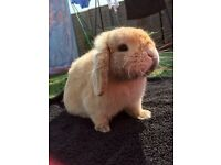 Dwarf lop rabbit with hutch and cage