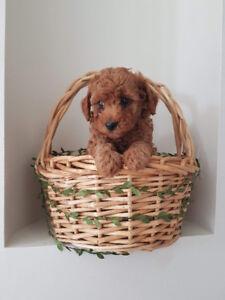 Teddybear Toy Poodle Puppies