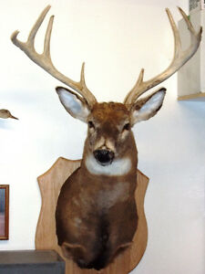 Tête de chevreuil / Mounted Deer Head