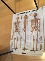 Clinic / Spa Anatomy posters