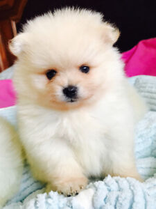 Teacup Puppies Kijiji In Ontario Buy Sell Save With Canadas
