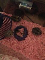 Hamster 5$
