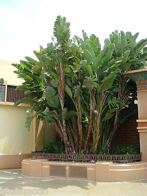 50 GIANT WHITE BIRD OF PARADISE SEEDS --- STRELITZIA NICOLAI