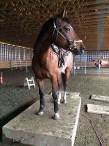 Horse for sale - 5 year old Mare