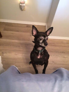 Alex 3 year old Chihuahua Texas Rescue for adoption