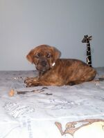 Beaux chiots Labrador croisé Boxer