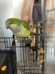 Green Quaker parrot ( 6 month old )