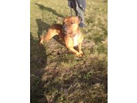 Staffordshire staffie terrier