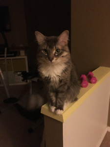 cute main coon mix 2 years old looking for new home