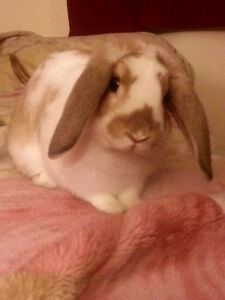 Male Holland Lop rabbit free to a good home!
