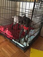 found-BLACK MINIATURE POODLE MALE ON LAKE IN DORVAL
