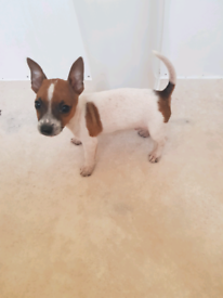 Full bred Jack Russell puppies for ssle