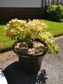 Large green pot with pieris japonica plant,