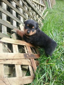 Amazing Rottweiler Pups for responsible family homes
