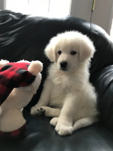 8 week old Maremma Puppy