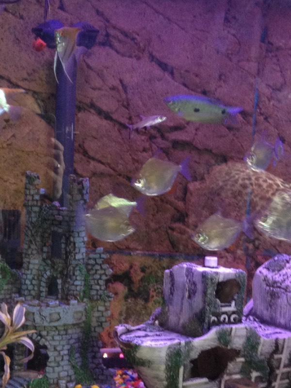Silver dollar tropical fish gumtree for Silver dollar fish for sale
