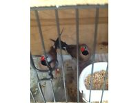 A pair of heck finches