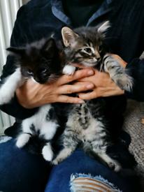 Two fluffy cute kittens ( tabby kitten SOLD)