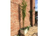 Beautiful huge(!) Bamboo in a lovely large white planter with trailing ivy