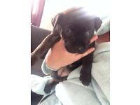 Staffie puppies for sale