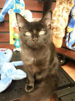 Rescued black male kitten for adoption - Saul