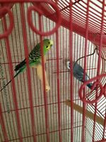 Two budgies with cage must stay together